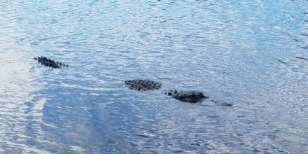 Big Gator 2