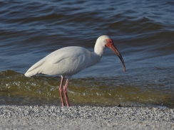 Ibis looking for dinner
