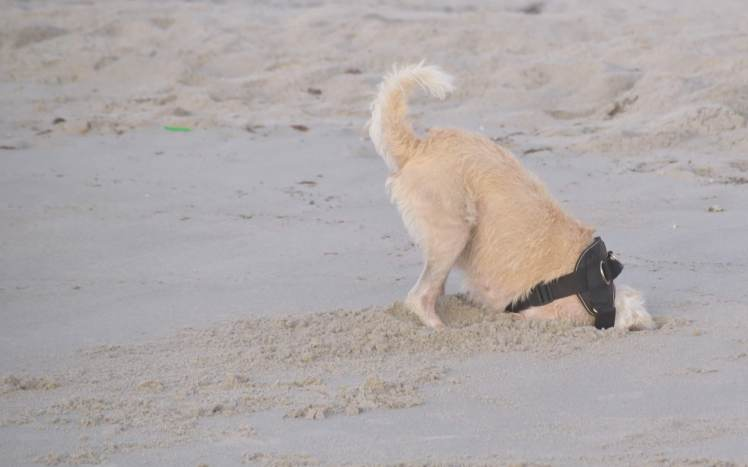 dog digging in the sands of Cocoa Beach