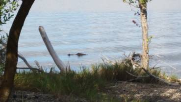 Yes, you could see an aligator