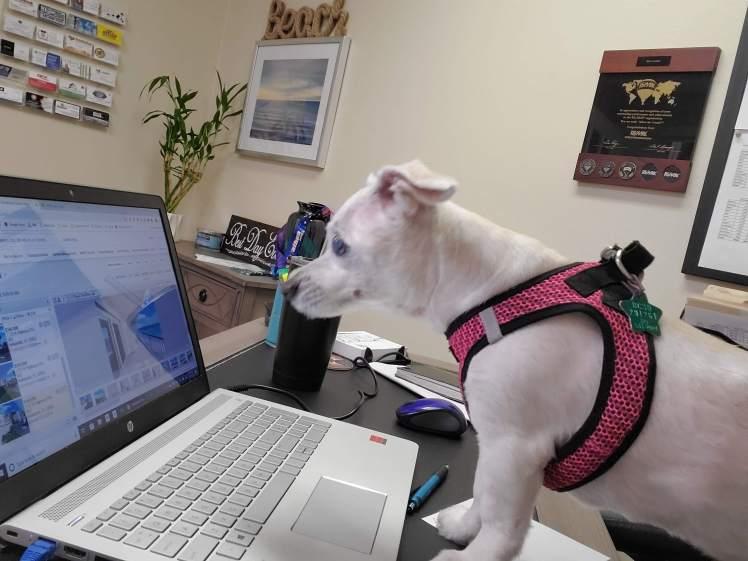 Chihuaha mix looking at a laptop