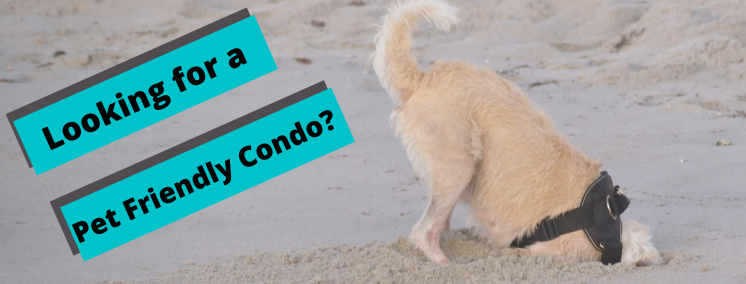Dog digging on the beach. Looking for a pet friendly condo?