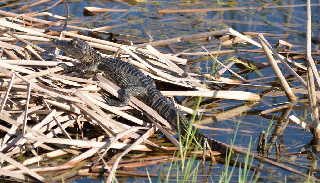 A young aligator hanging out on the waters edge at the Viera Wetlands